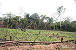 Bosque lluvioso desmontado para cultivar maíz