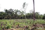 Maize planted on former rainforest land
