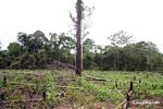 Maize field planted after rainforest has been slash-and-burned
