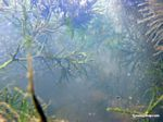 Foxtail aquatic plants in Amazon Oxbow lake [underwater-manu126]
