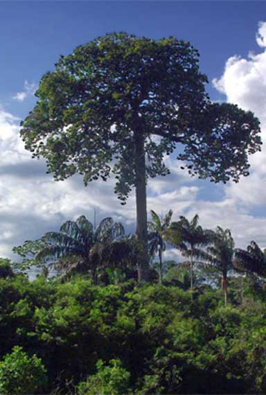 Castanheira, a giant Brazil nut tree. Photo courtesy of Wikipedia