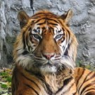 International Tiger Day: How are tigers faring now?