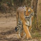 e-Eye of the tiger: Complex surveillance system extends watch over India's wildlife sanctuaries