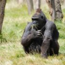 Chew on this new way to detect disease in primates